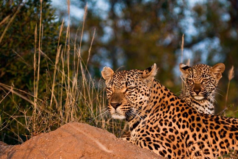 Luipaardfamilie royalty-vrije stock foto