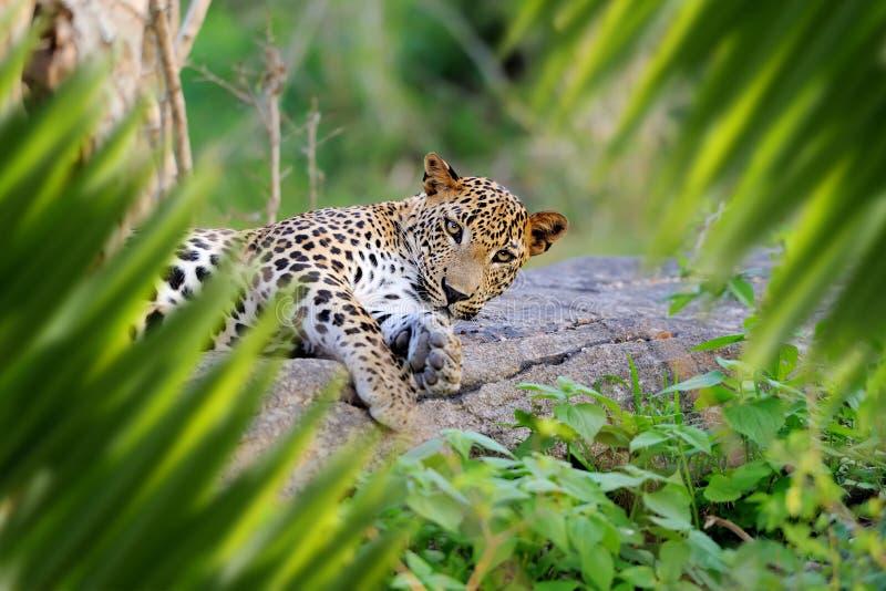 Luipaardportret in wildernis stock foto