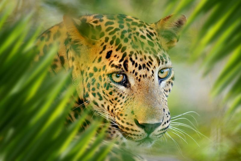 Luipaardportret in wildernis royalty-vrije stock fotografie