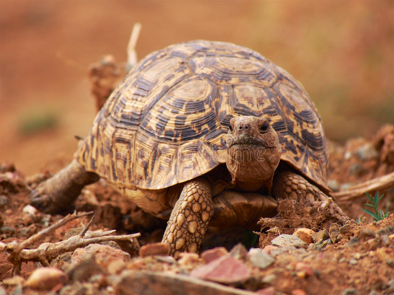 Luipaardschildpad stock fotografie
