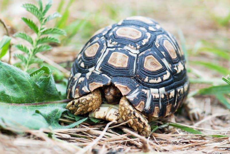 Luipaardschildpad in de defensiepositie royalty-vrije stock foto's