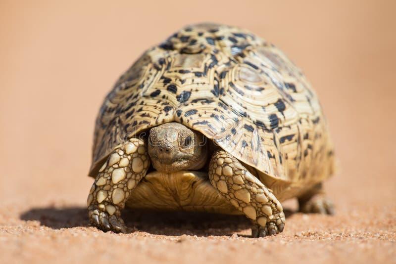 Download Luipaardschildpad Die Langzaam Op Zand Met Beschermende Shell Lopen Stock Foto - Afbeelding bestaande uit crawling, camouflage: 54083744