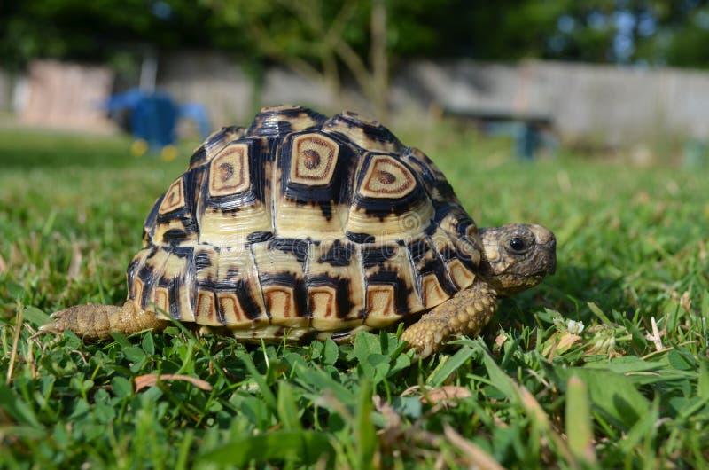 Luipaardschildpad in gras royalty-vrije stock foto's