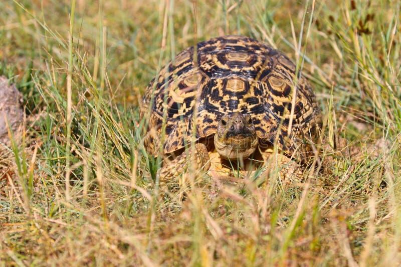 Luipaardschildpad, het Nationale Park van Hwange, Zimbabwe stock afbeelding