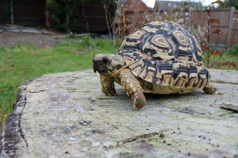 Luipaardschildpad op een Boomstomp royalty-vrije stock foto's