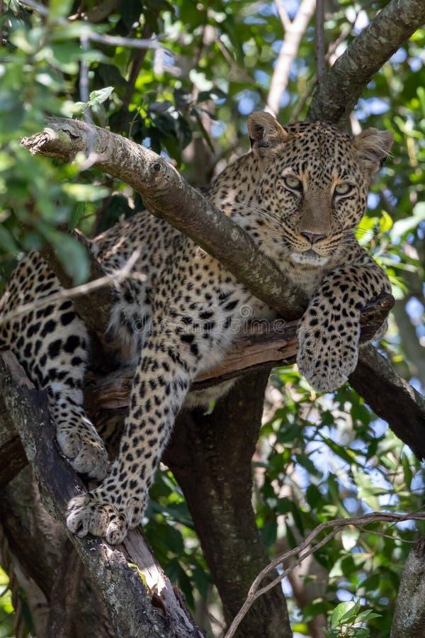 Luipaardzitting in een boom met in Masai Mara, Kenia, Afrika royalty-vrije stock afbeeldingen