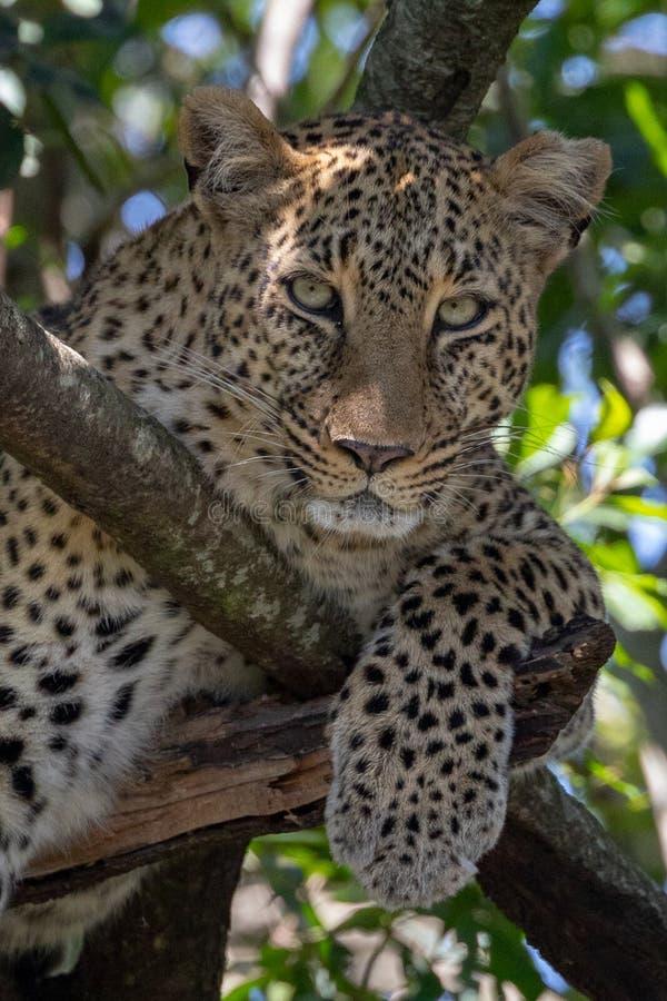 Luipaardzitting in een boom met in Masai Mara, Kenia, Afrika royalty-vrije stock foto's