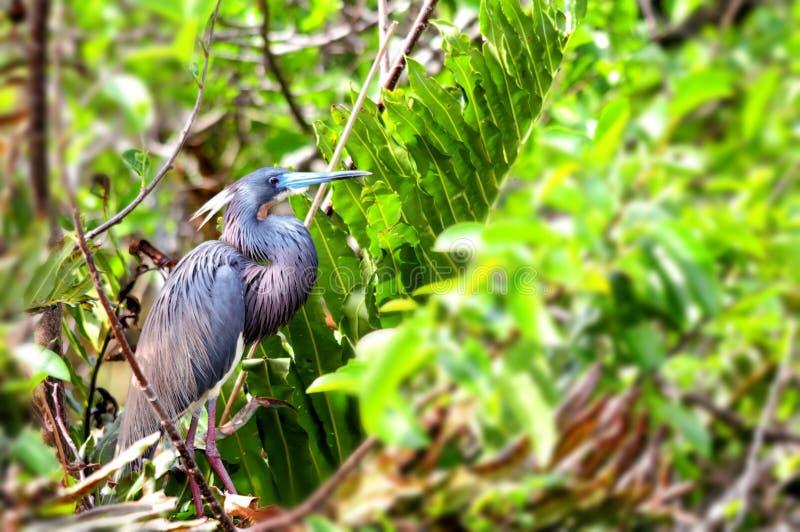 Luizjana czapli ptak obraz stock