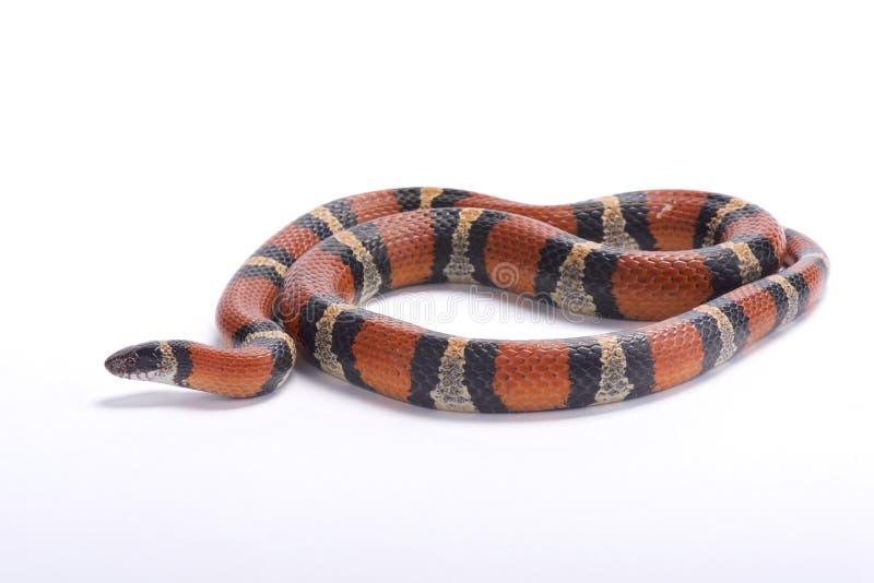 Luizjana dojny wąż, Lampropeltis triangulum amaura zdjęcie stock