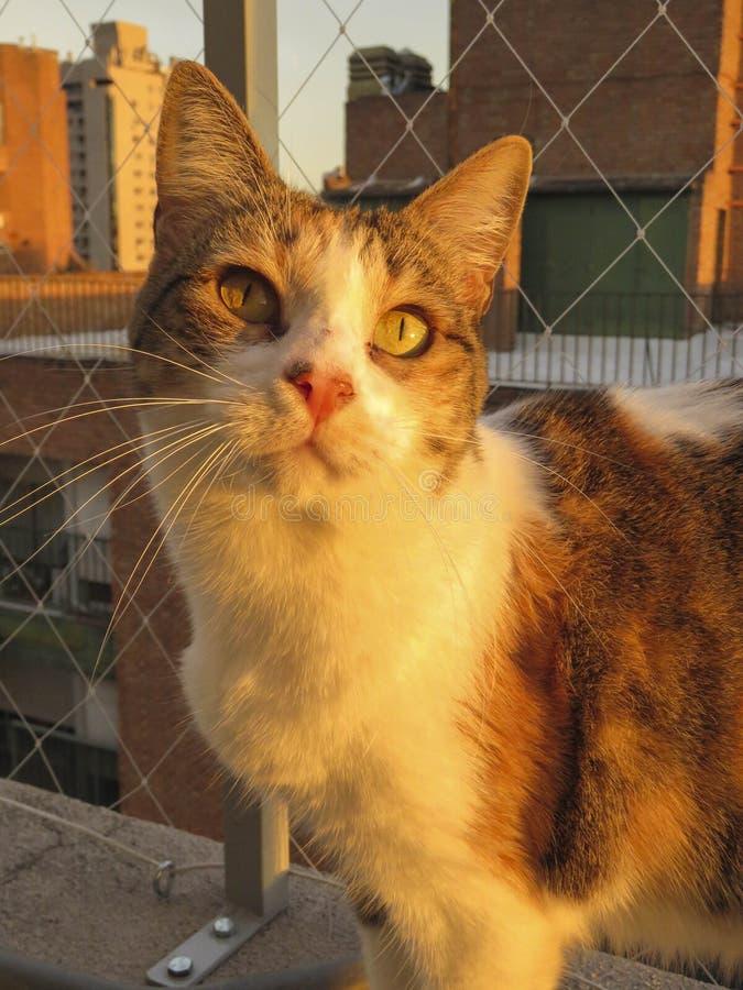Lujan,猫 免版税库存照片