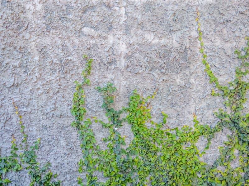 Luke dilapidou parede do cimento com hera imagens de stock