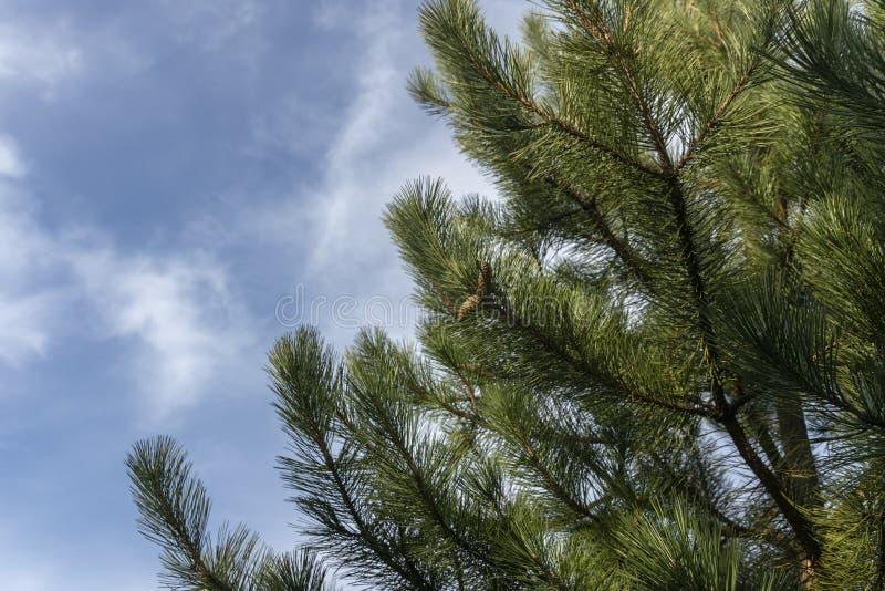 Luksusowa ciemnozielona gałąź Austriacka sosna lub czarna sosna, Pinus nigra z rożkami przeciw niebieskiemu niebu fotografia royalty free