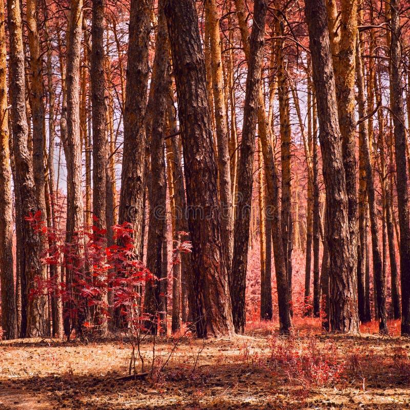 Luksusowa jesień w fantastycznym sosnowym lesie zdjęcia royalty free
