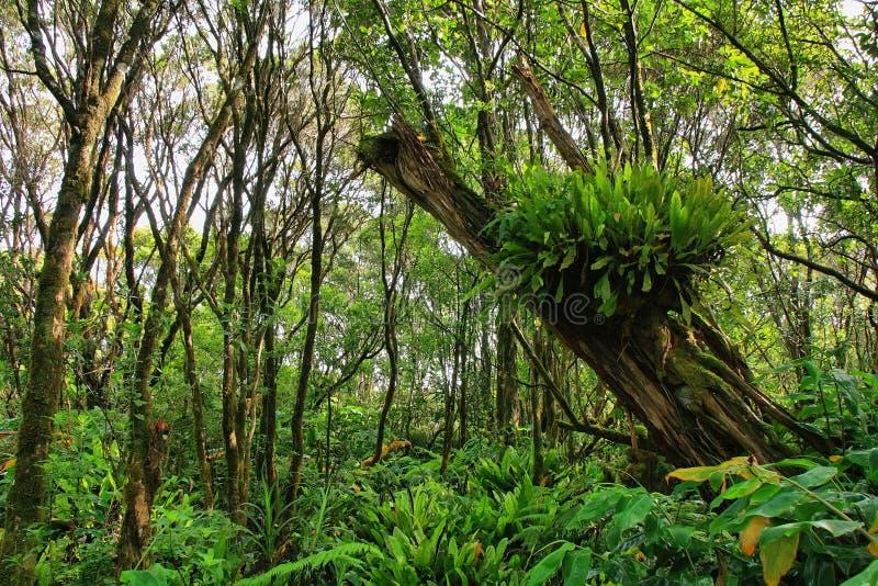 Luksusowa tropikalna roślinność w Pihea śladzie zdjęcie stock