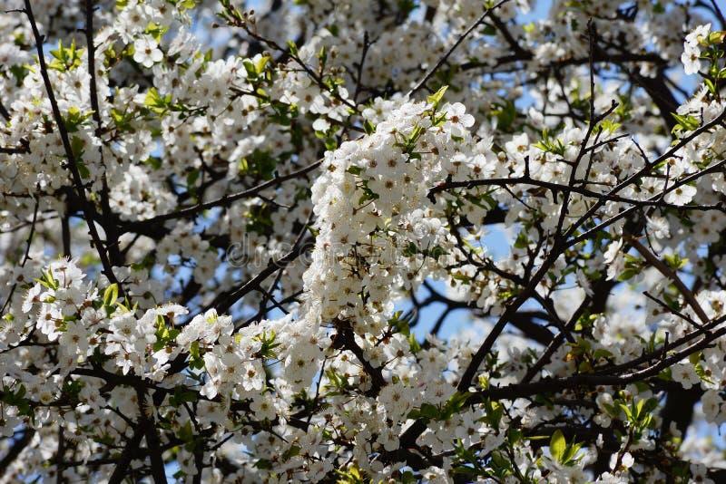 Luksusowa wiosna kwitnie na drzewie zdjęcie royalty free