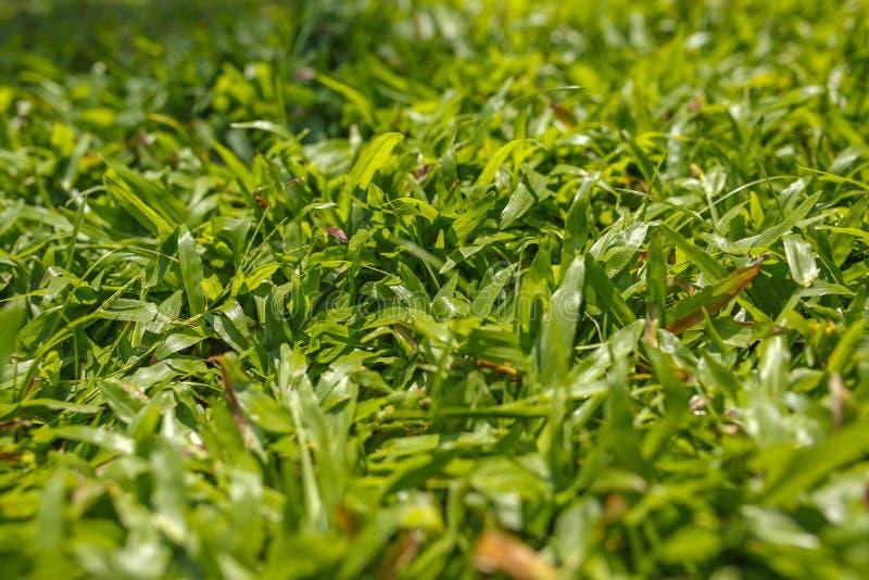 Luksusowa zielona trawa przy słonecznym dniem obraz royalty free