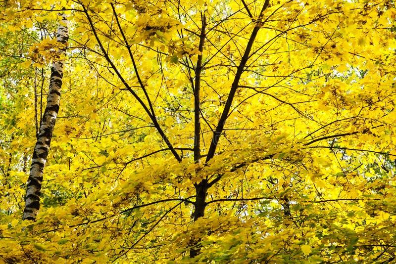 luksusowy żółty ulistnienie klonowego drzewa i brzozy bagażnik fotografia stock