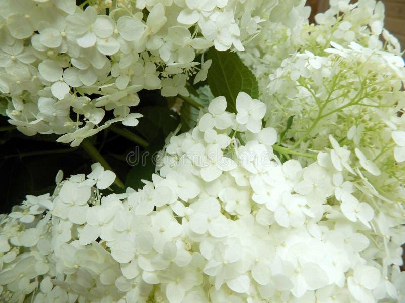 Luksusowy biały hortensi zakończenie zdjęcia stock