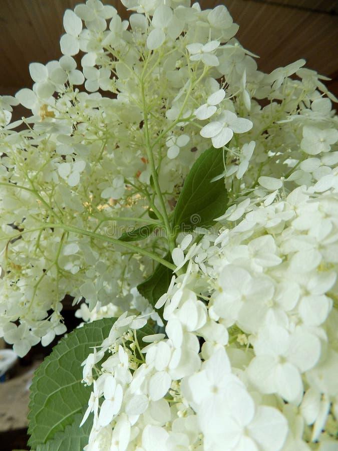 Luksusowy biały hortensi zakończenie zdjęcia royalty free
