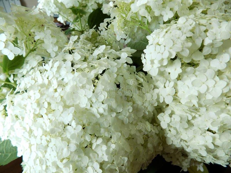 Luksusowy biały hortensi zakończenie obrazy royalty free