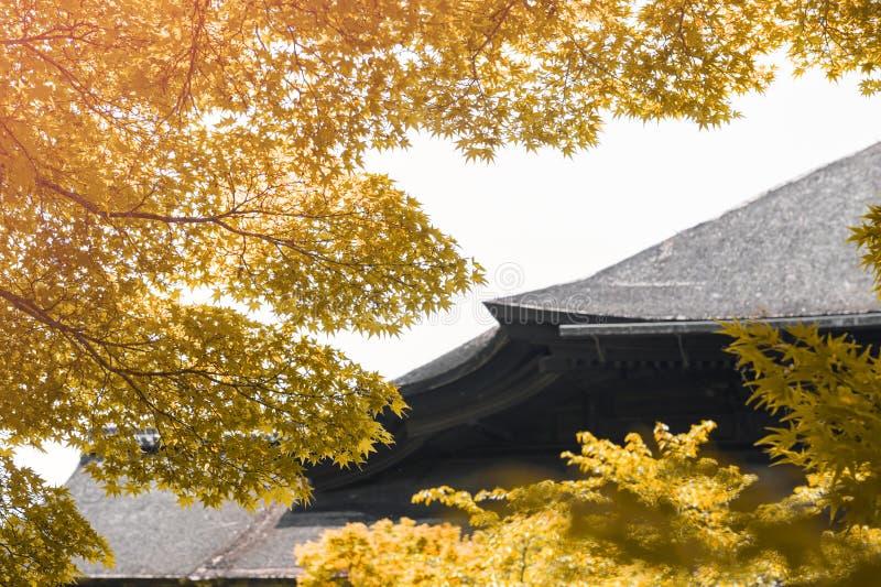 Luksusowy kolor żółty i złoty ulistnienie Japoński klonowy drzewo podczas jesieni zdjęcia stock