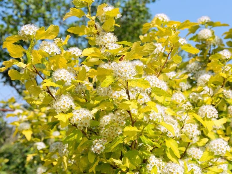 Luksusowy kwitnący physocarpus w lato ogródzie Kwiatostany śnieżnobiali kwiaty przeciw kolorów żółtych liściom i niebieskiemu nie obrazy stock