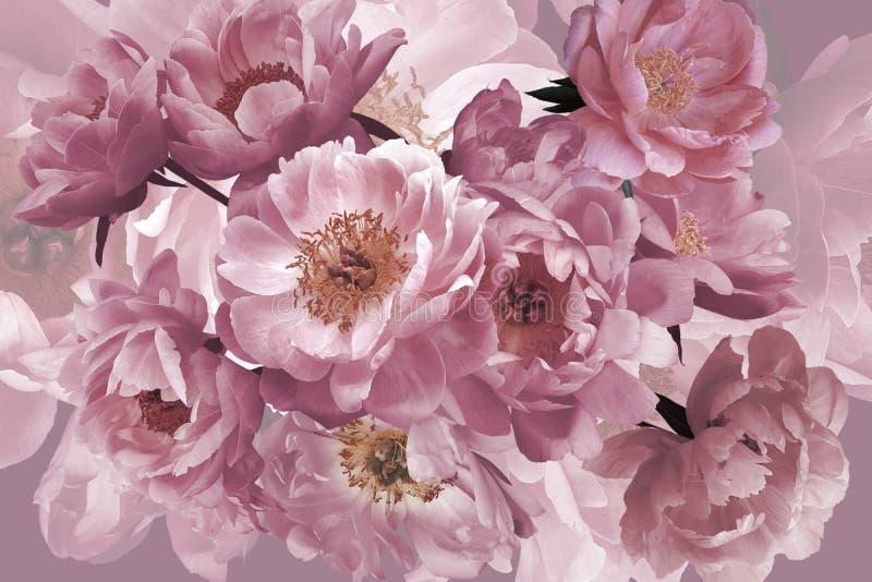 Luksusowy t?o Bukiet menchia ogród kwitnie peonie w górę zdjęcia stock
