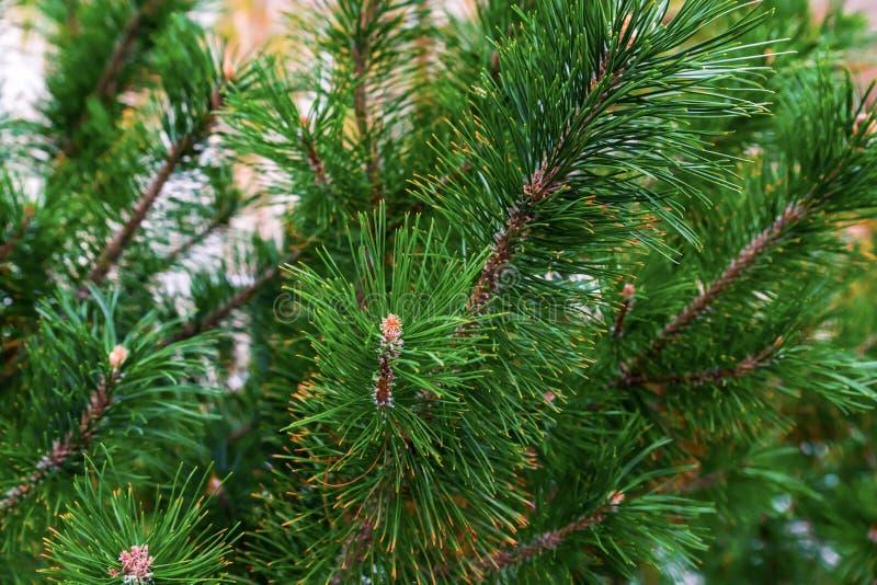 Luksusowych świerczyny zieleni świątecznych deseniowych rostowych długich igieł naturalna baza w górę baza projekta obrazy royalty free