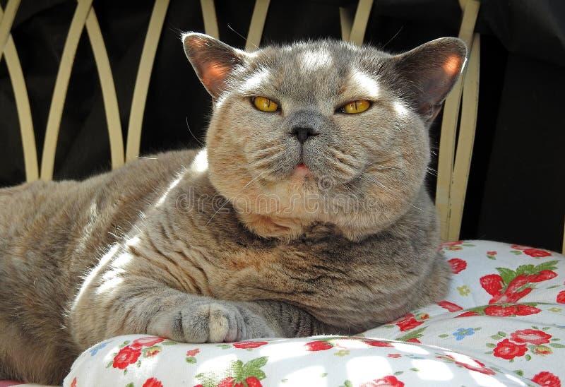 Luksusu odpoczynek dla zarodowego brytyjskiego shorthair kota zdjęcie stock