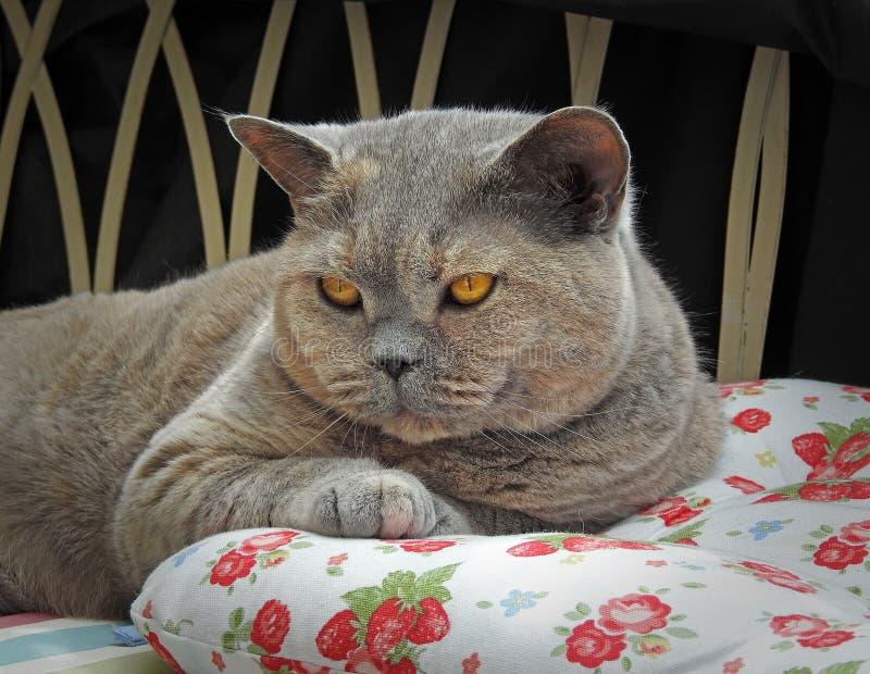 Luksusu odpoczynek dla zarodowego brytyjskiego shorthair kota fotografia royalty free