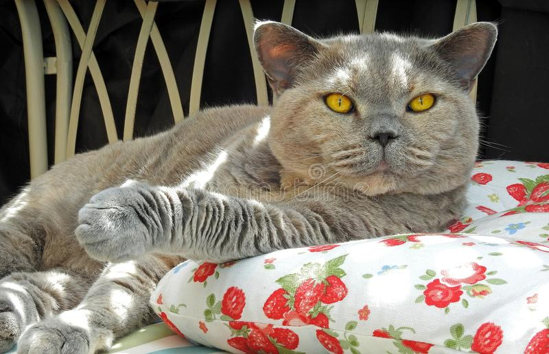 Luksusu odpoczynek dla zarodowego brytyjskiego shorthair kota fotografia stock