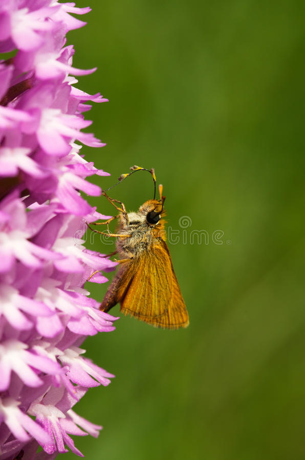 Lulworth Skipper butterfly - Thymelicus acteon - pollinating Pyramidal Orchid - Anacamptis pyramidalis stock photo
