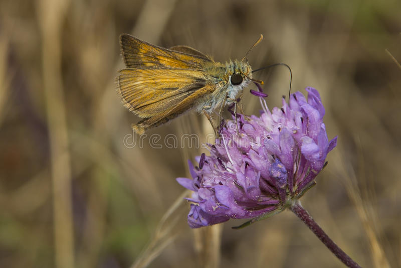 Lulworth Skipper nectaring on Field Scabious royalty free stock photo
