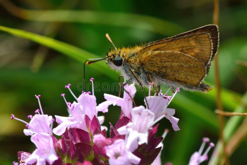 Lulworth skipper (Thymelicus acteon) nectaring on wild marjoram stock photos
