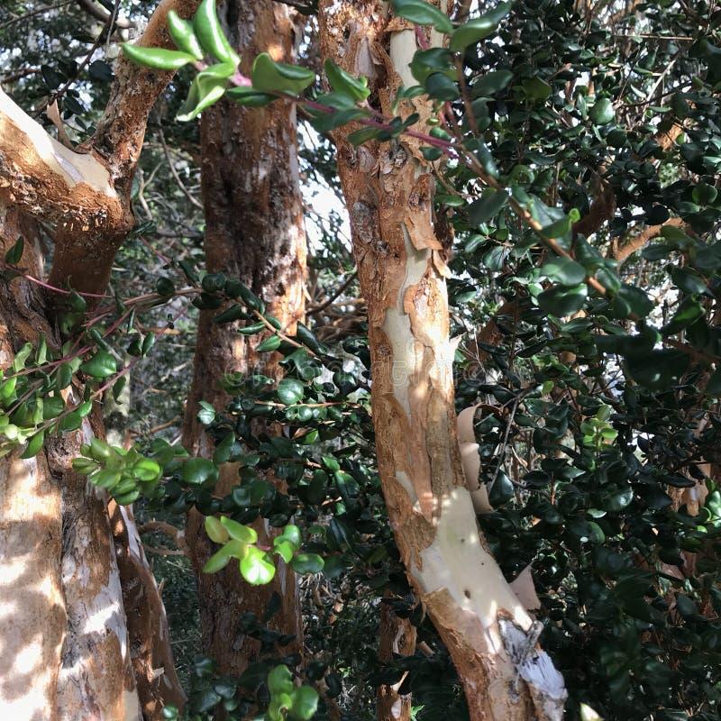 Luma apiculata (Chilean myrtle) royalty free stock image