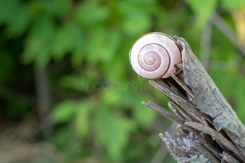 Lumaca bianca Shell sul ramo rotto morto fotografia stock libera da diritti