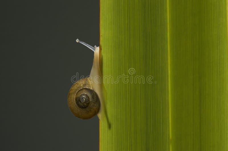 Lumaca che arrampica un foglio. fotografie stock