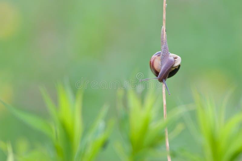 Lumaca che si arrampica giù nelle erbe immagine stock