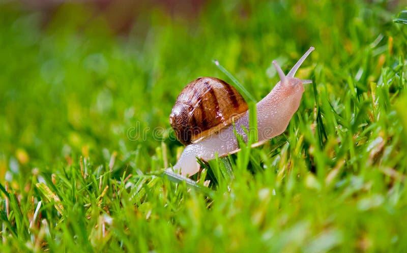 Lumaca che striscia sull'erba fotografia stock