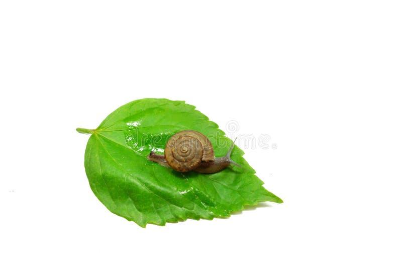 Lumaca che striscia sull'foglie verdi isolate su fondo bianco immagini stock