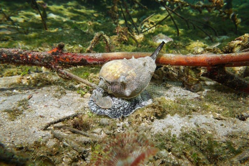 Lumaca di mare caraibica della conca della corona Melongena immagini stock libere da diritti