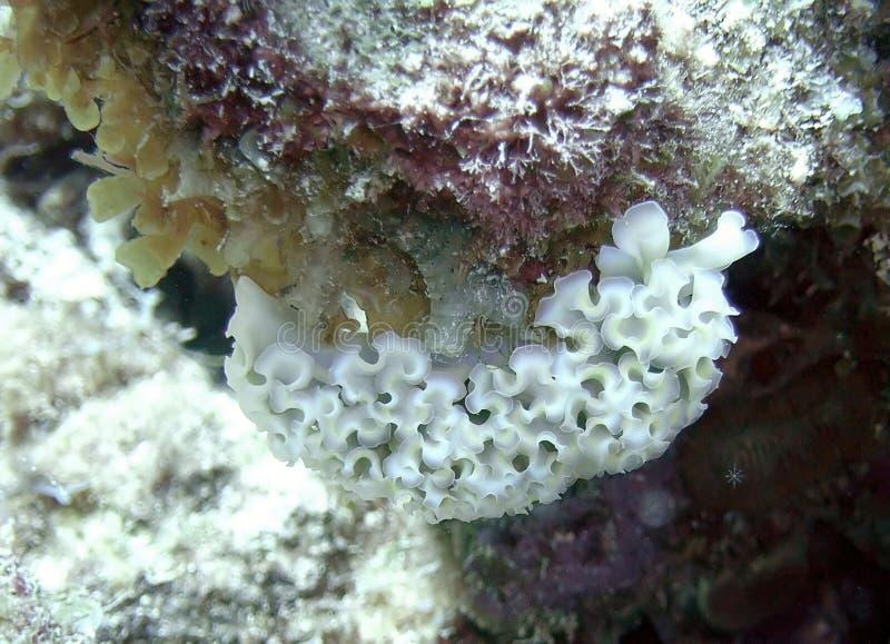 Lumaca di mare della lattuga immagini stock libere da diritti