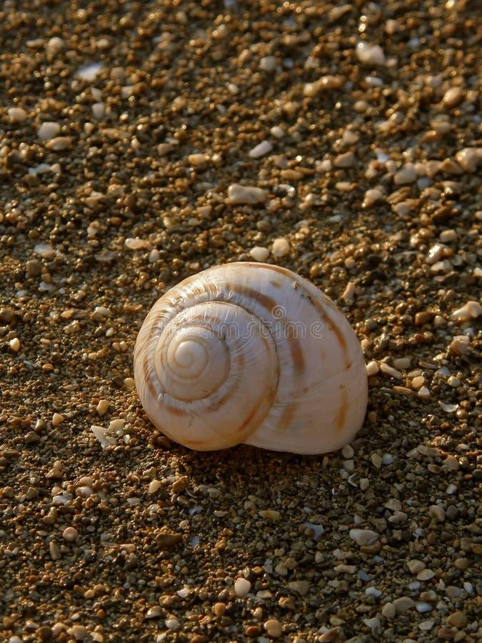 Lumaca di mare sulla spiaggia 3 fotografia stock libera da diritti