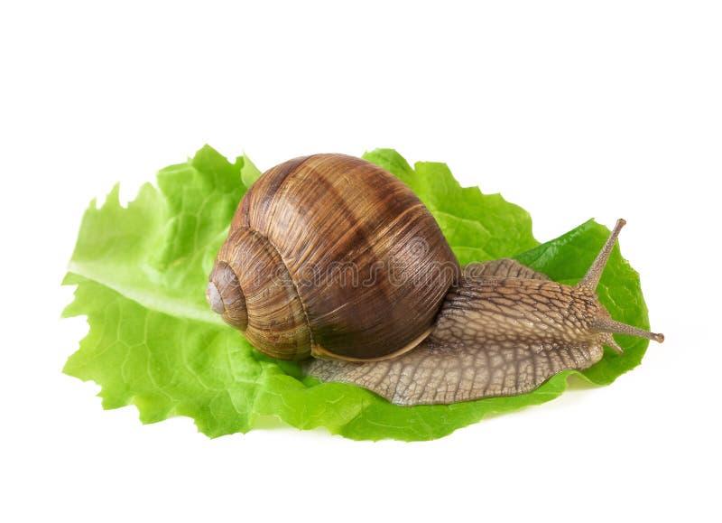 Lumaca sul helix pomatia della lumaca della foglia o di terra dell'insalata isolata su bianco immagine stock