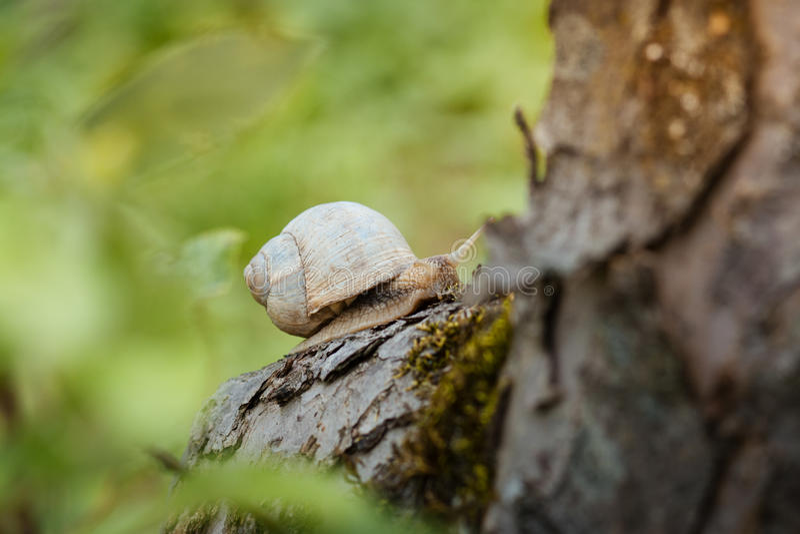Lumaca sull'albero nel giardino Lumaca che scivola sulla struttura di legno bagnata immagine stock libera da diritti