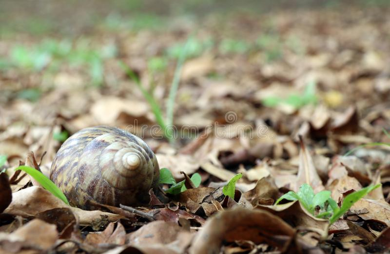 Lumaca sulla terra ed il mucchio delle foglie asciutte è un mollusco con le singole coperture a spirale immagini stock