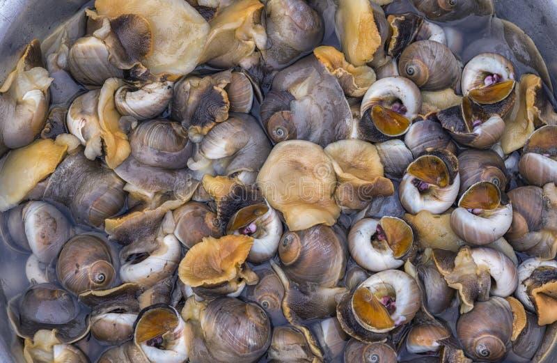 Lumache di mare o molluschi marini del gasteropodo fotografie stock