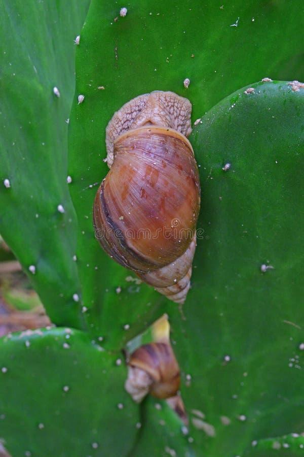 Lumache giganti, credute di essere achatina fulica, sulla superficie del gambo del cactus a Rodrigues Island, le Mauritius, Afric immagini stock