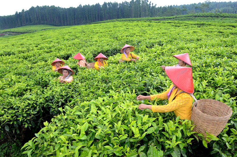 Lumajang. INDONESIA - NOVEMBER 15, 2013: Tea pickers at the plantation in  government, East Java, Indonesia. Tea is produced and then exported to Japan, China stock images
