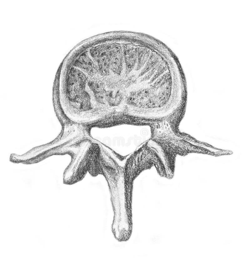 Lumbaal been - skelet stock illustratie